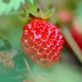 Wild Strawberry 7-6-13