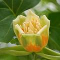 Tulip Tree 6-22-13
