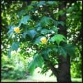 Photos: The Tulip Tree 6-22-13