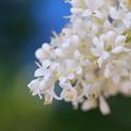 写真: Japanese Tree Lilac 7-4-13