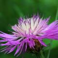 Photos: Centaurea 7-6-13