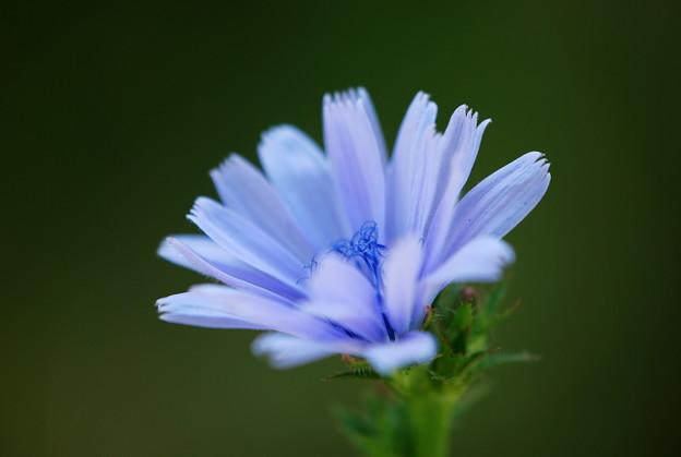 Blue Chicory 7-14-13