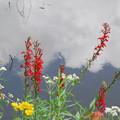 Photos: Cardinal Flowers and... 8-3-13