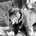 Chocolate Lab before 5K 8-24-13