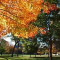 Photos: A Maple Tree in Bowdoin 10-19-13