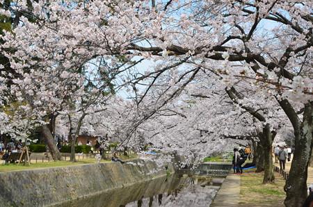 夙川桜2013