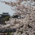 岡崎城桜景色1