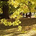 銀杏の木陰