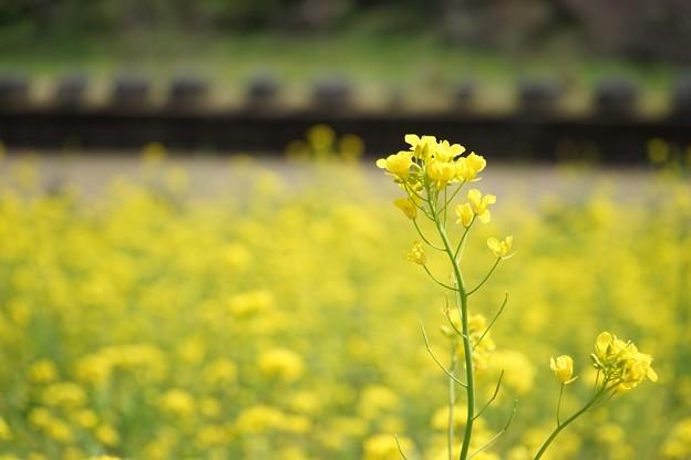 月崎駅の菜の花