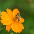 セイヨウミツバチ?