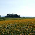 写真: ひまわりの丘(パノラマ撮影)