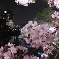 写真: 皇居、千鳥ヶ淵の夜桜