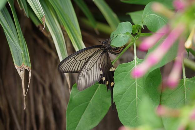 葉の裏に産卵するジャコウアゲハ