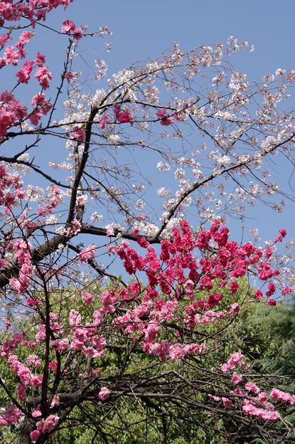 隅田の五色桃
