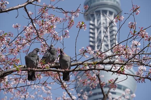 隅田公園の桜と鳩