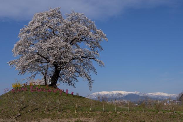 桜の大樹と蔵王連峰