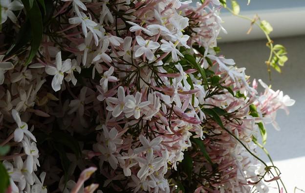 五月庭の花 2