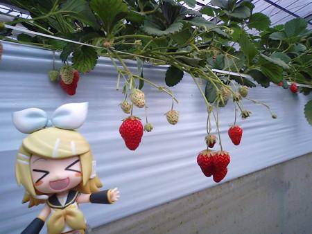 リン:「ほらほら! この辺とか、赤くて美味しそう♪」
