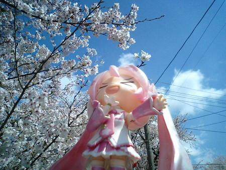 桜ミク:「マスター!! 満開満開、チョーー満開ですよキャハーーー...
