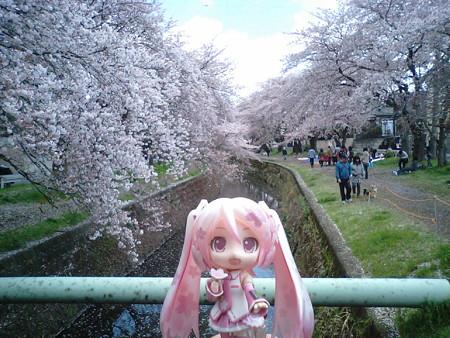 桜ミク:「この辺り、特にキレイですー♪♪」