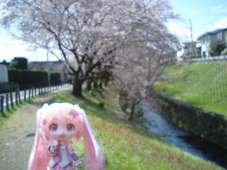 桜ミク:「千本桜の南端から北端まで歩き通しました。この樹が北端の...