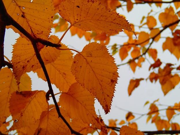 紅葉色づく王滝登山道