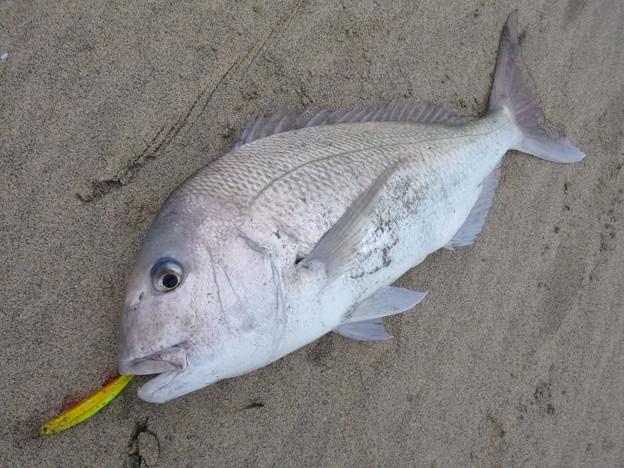Photos: サーフからこんな真鯛が・・・