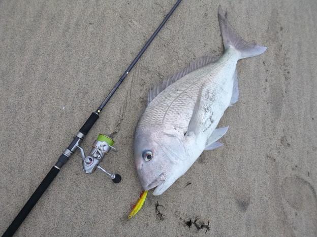 写真: 2月17日 81cm サーフ真鯛