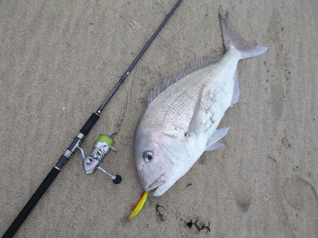 Photos: 2月17日 81cm サーフ真鯛