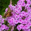 写真: フロックスにアゲハチョウ