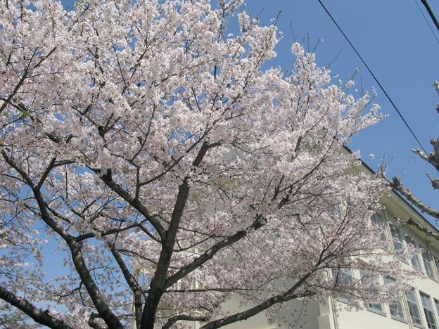 嵐の前の桜 兵庫中学_02