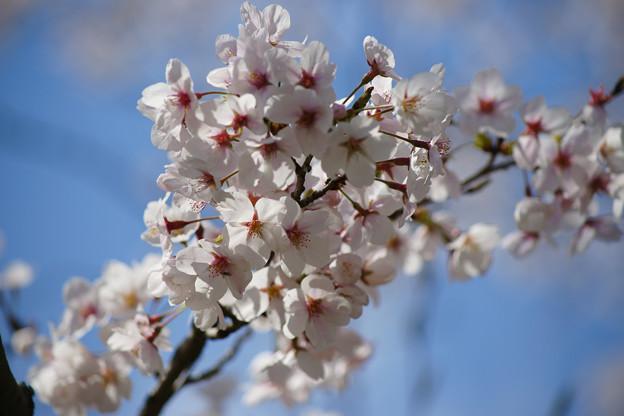 水分れ公園の桜_04