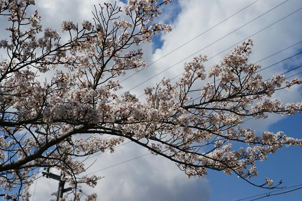 水分れ公園の桜_06