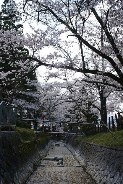水分れ公園の桜並木_01
