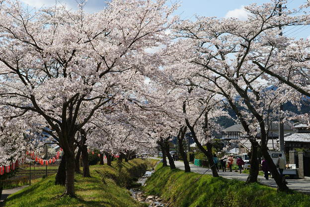 水分れ公園の桜並木_03