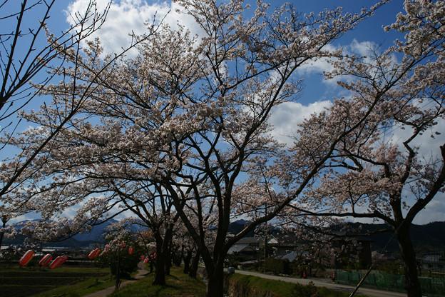 水分れ公園の桜並木_05