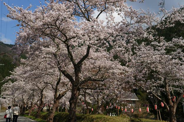水分れ公園の桜並木_06