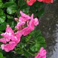 Photos: 雨の日の花_01