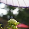 蛇の目傘 つぼみの冬牡丹