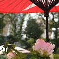 蛇の目傘 ピンクの冬牡丹_01