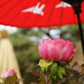 蛇の目傘 ピンクの冬牡丹_02