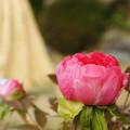 蛇の目傘 ピンクの冬牡丹_03
