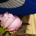 蛇の目傘 ピンクの冬牡丹_04
