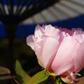 蛇の目傘 ピンクの冬牡丹_05