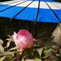 蛇の目傘 ピンクの冬牡丹_06