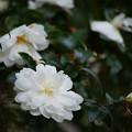 Photos: 白色のサザンカ_02