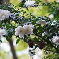 Photos: 白色のサザンカ_03