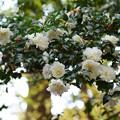 Photos: 白色のサザンカ_04