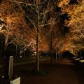 Photos: メタセコイヤ並木 ライトアップ_01