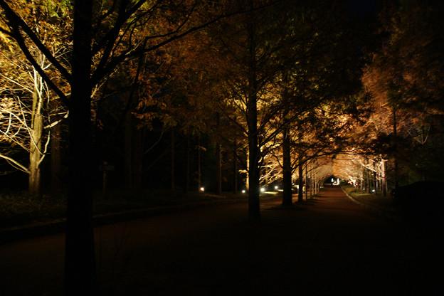 Photos: メタセコイヤ並木 ライトアップ_02